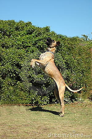 Great Dane Royalty Free Stock Photography Image 6082137