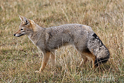 Grey Fox Royalty Free Stock Photo Image 2488735