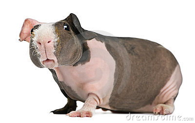 Hairless Guinea Pig Royalty Free Stock Images Image