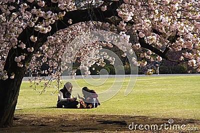 Japan cherry blossom season