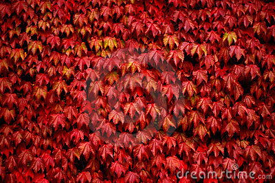 Red Ivy Royalty Free Stock Photos Image 3053848