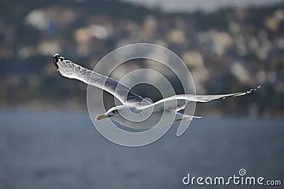 Чайка летит на Дримстайм