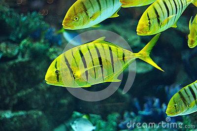 yellow and black stripe fish yellow and black striped