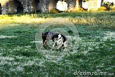 Two Alsatian dogs