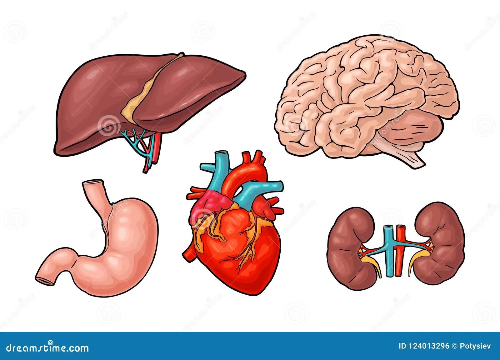 Organos Humanos De La Anatomia Cerebro Rinon Corazon