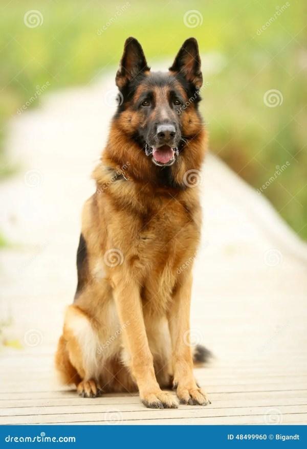 Взрослая собака немецкой овчарки Стоковое Фото ...