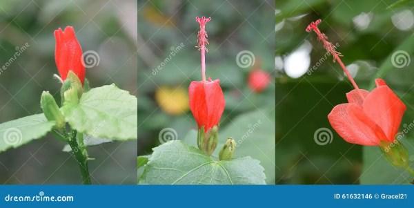 Гибискус Красный Фото