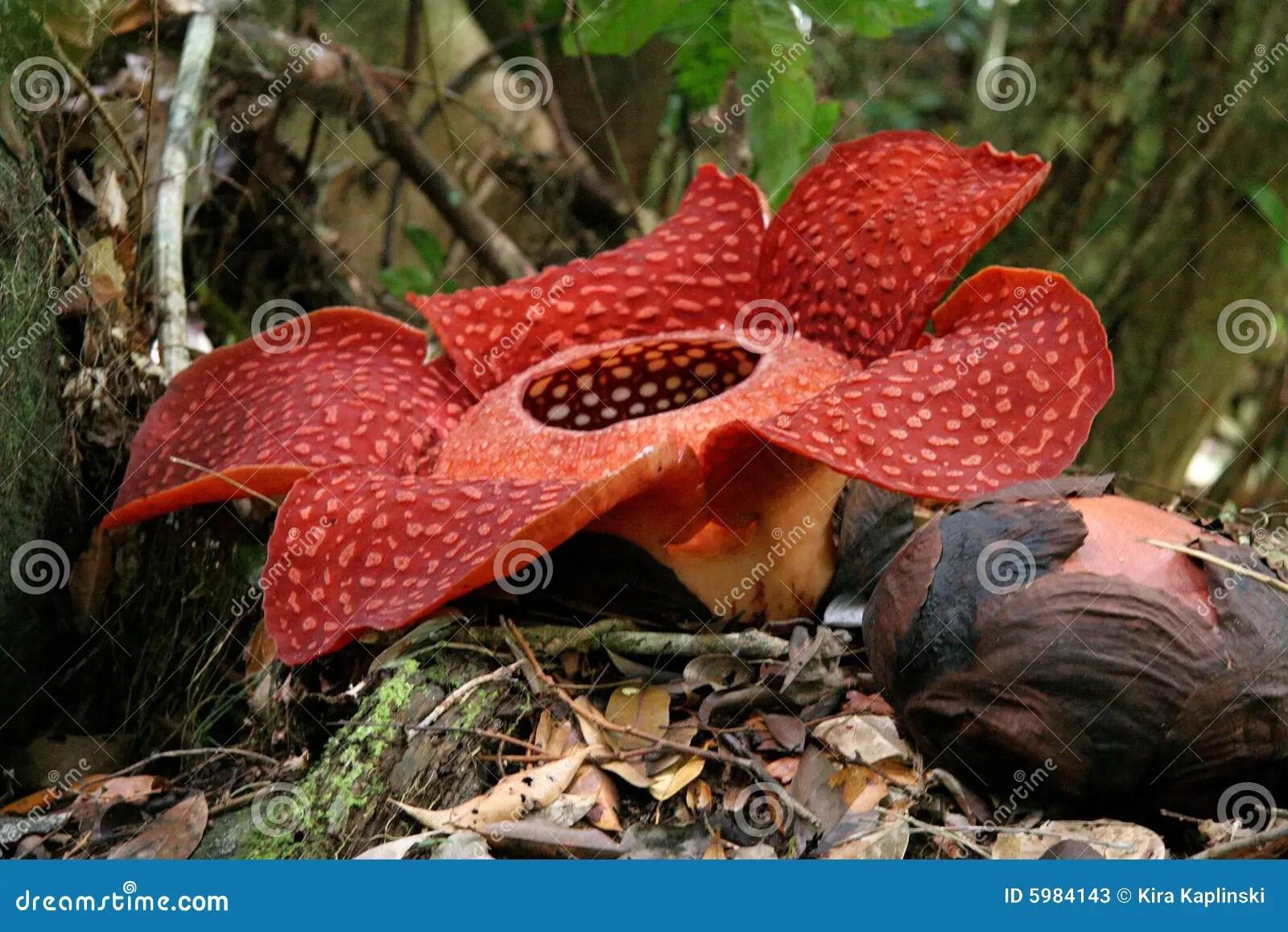 最大的花rafflesia世界 庫存圖片. 圖片 包括有 爛掉, 馬六甲, beauvoir, 密林, 感染 - 5984143