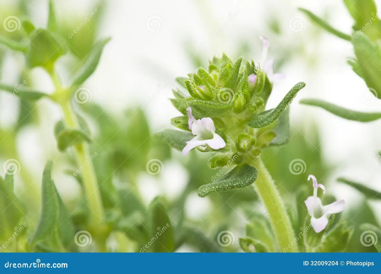 麝香草葉子和花 庫存圖片 - 圖片: 32009204