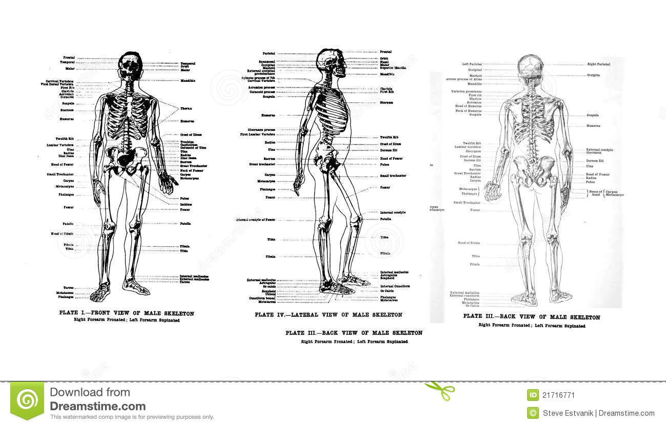 3 Views Of The Human Skeleton Editorial Photo
