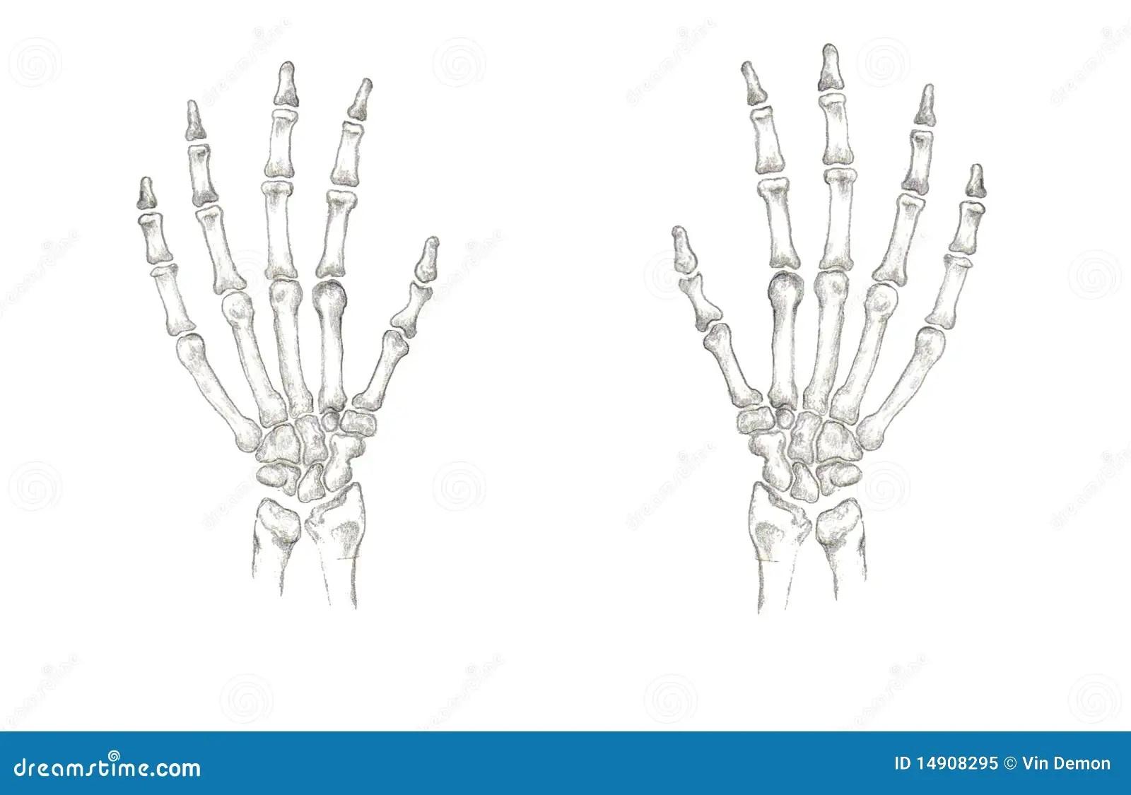 Accurate Hand Bones Stock Illustration Illustration Of
