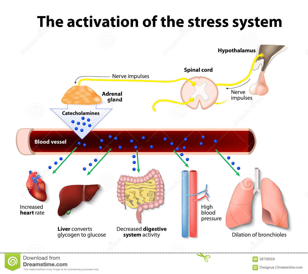 Activation Of The Stress System Stock Vector