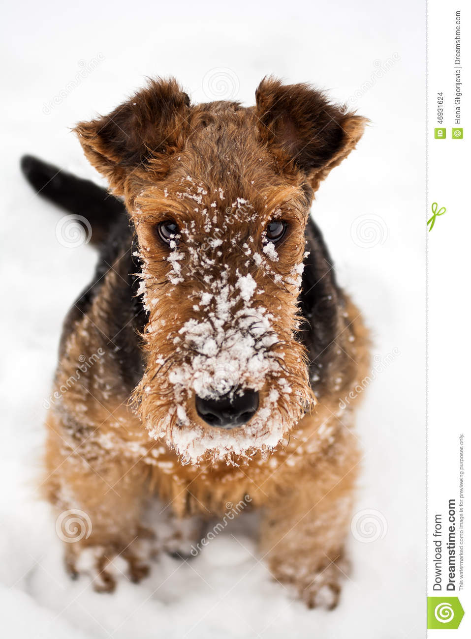 Airedale Terrier Puppy Dog Sitting At Snow Stock Photo
