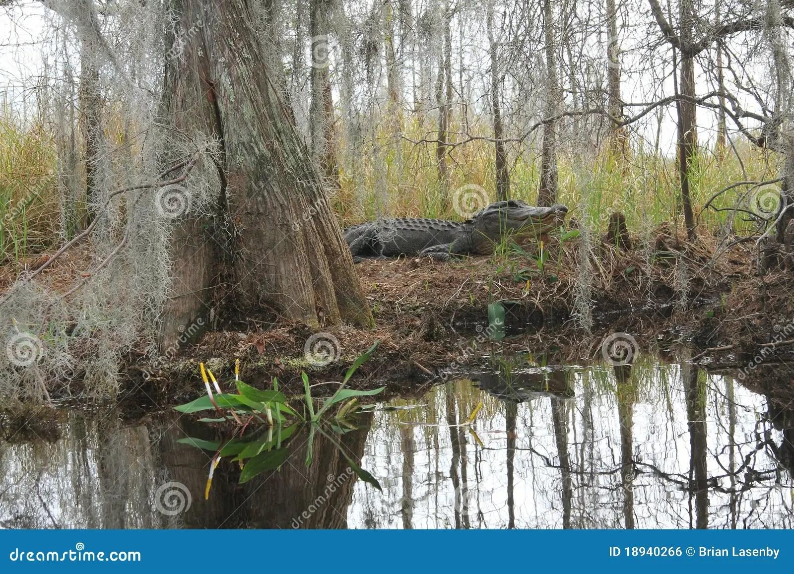 Alligator In Natural Habitat