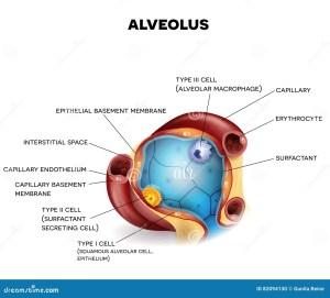 Alveolus Gas Exchange Vector Illustration | CartoonDealer #48200122