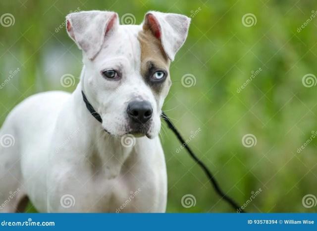 american bulldog mixed breed puppy dog stock photo - image of