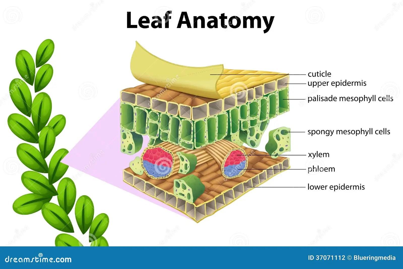 Anatomia De La Hoja Ilustracion Del Vector Ilustracion De