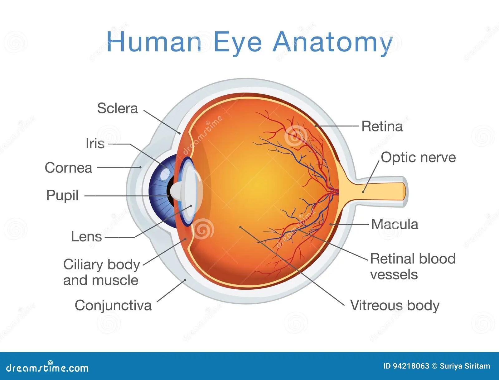 Anatomia Del Ojo Humano Y De Descripciones Ilustracion Del