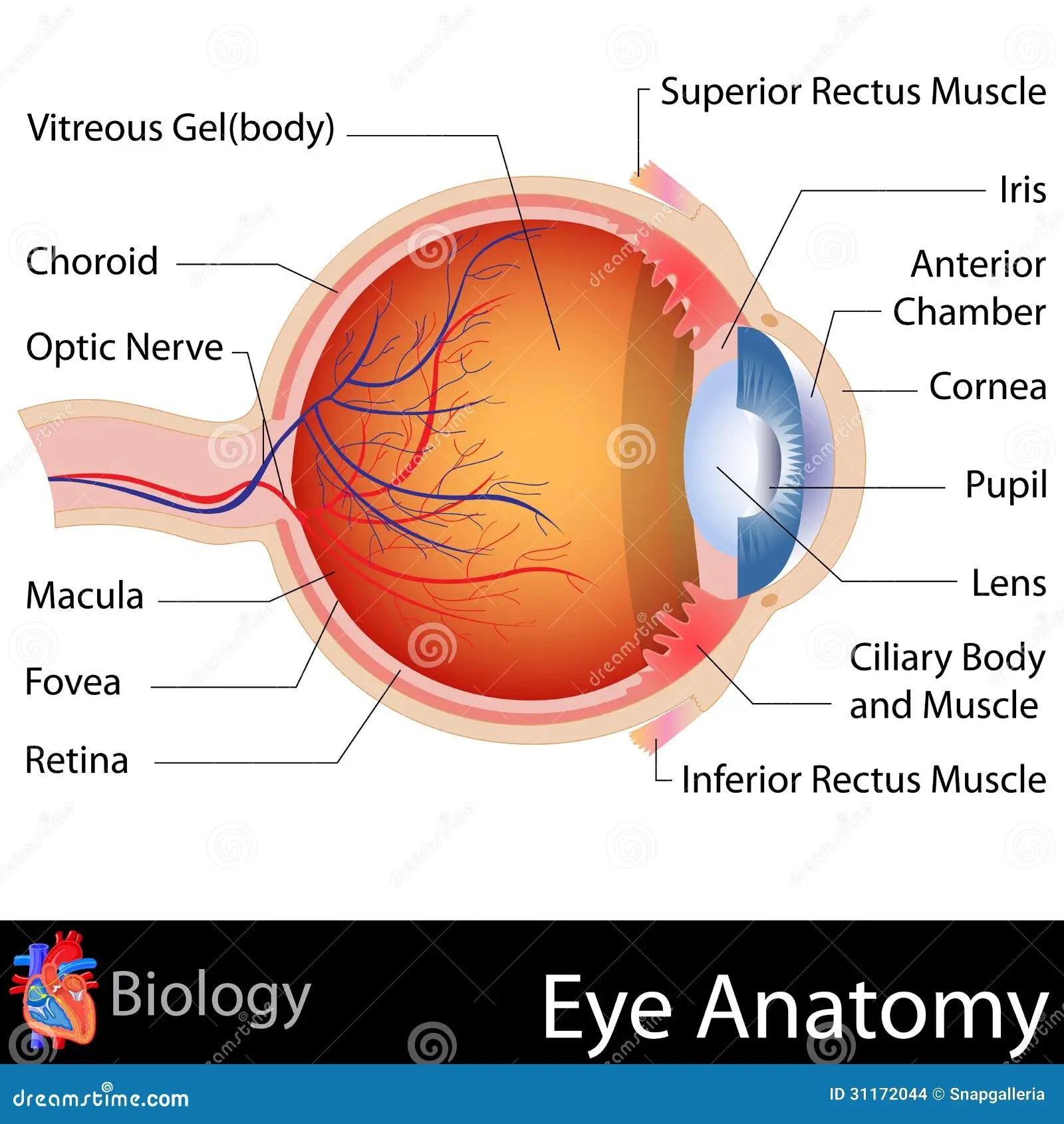 Anatomia Dell Occhio Illustrazione Vettoriale Illustrazione Di Fovea