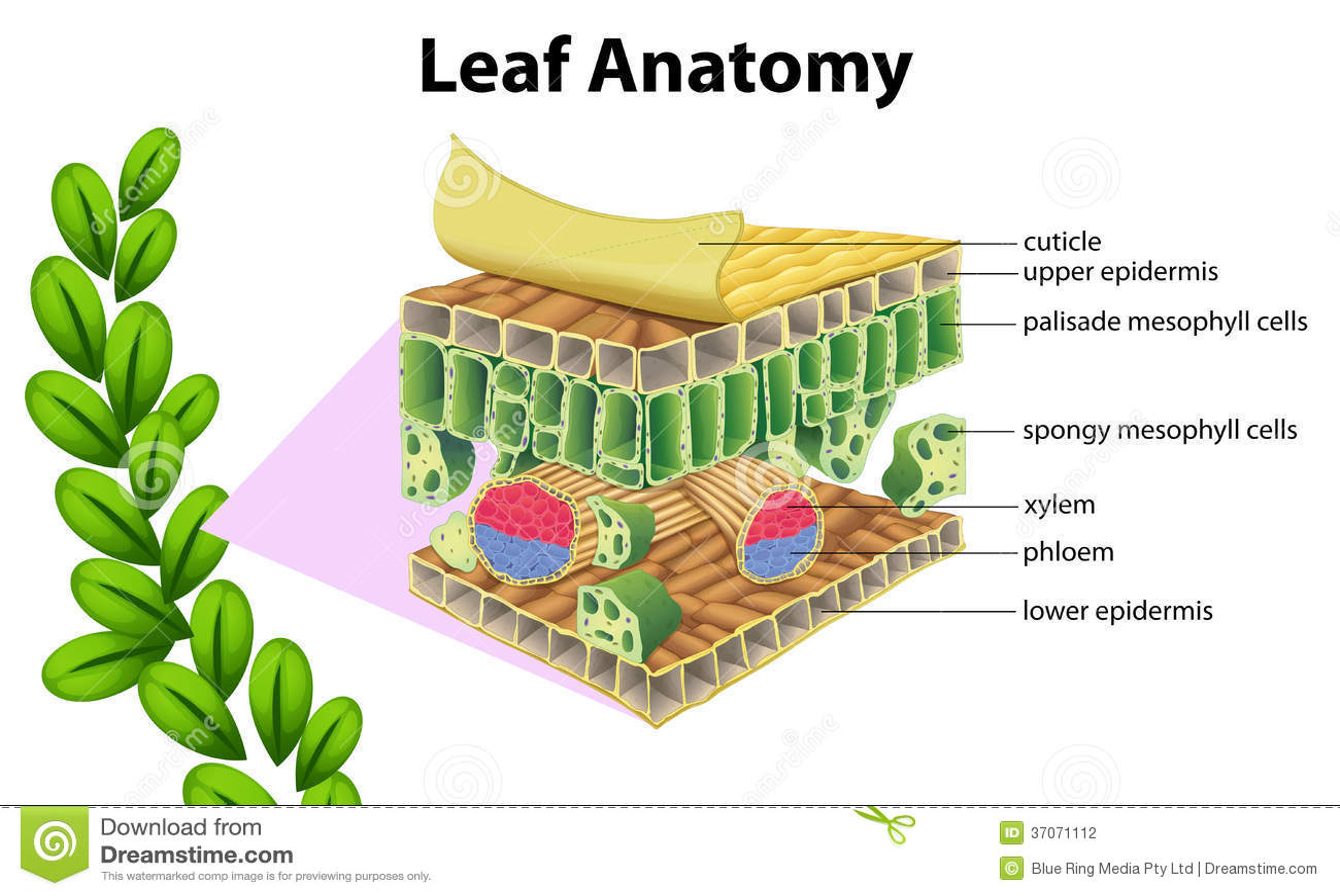 Anatomie De Feuille Illustration De Vecteur Illustration
