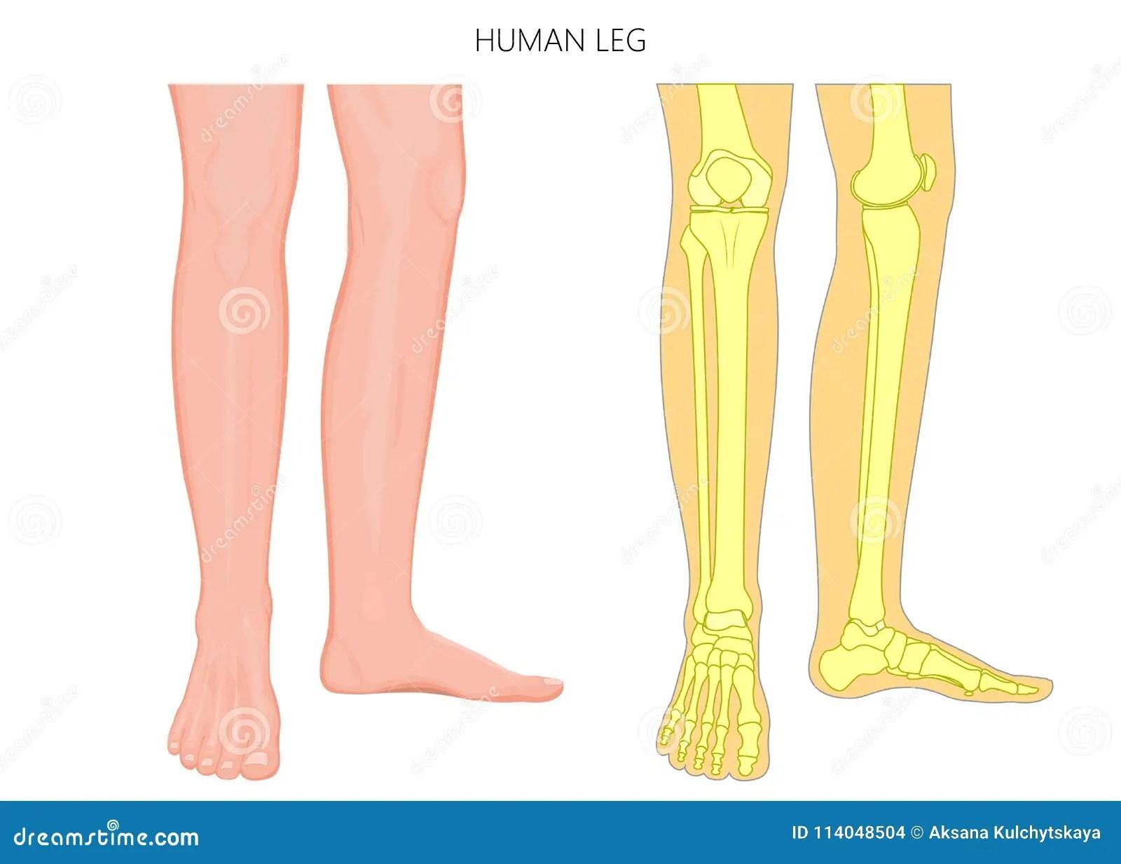 Anatomie Et Squelette De Jambe De Fracture Human D Os