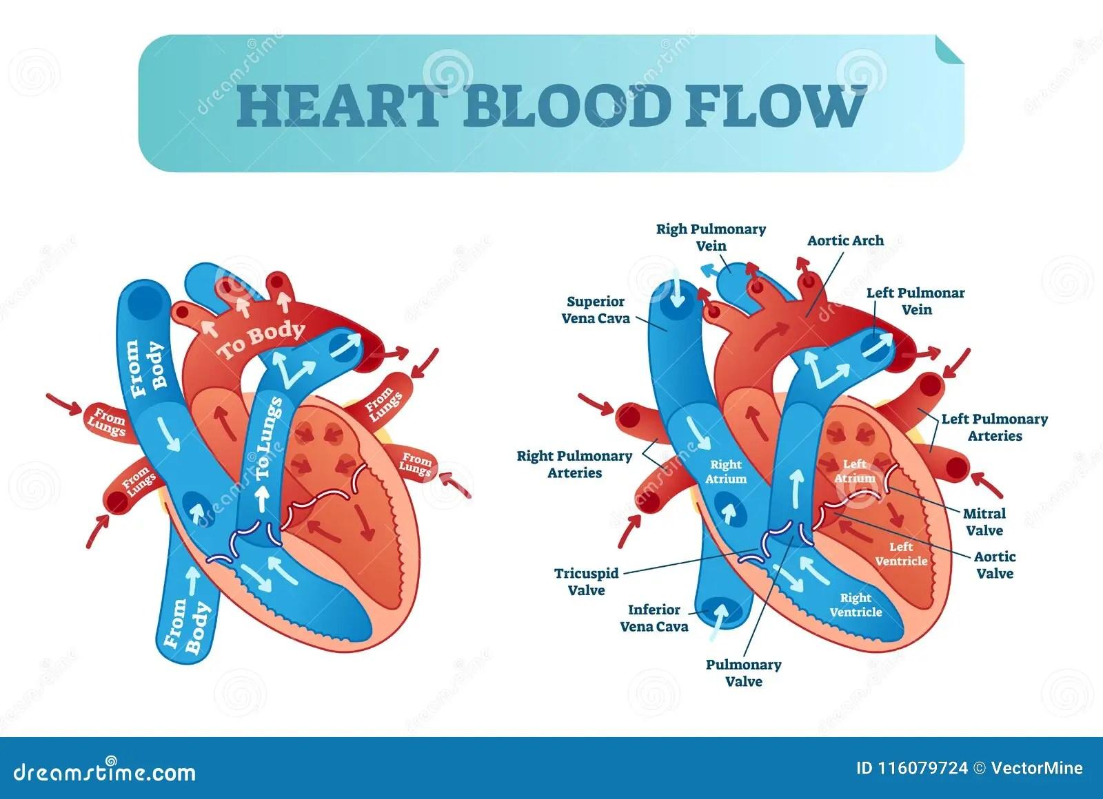 Anatomisches Diagramm Der Herzdurchblutungs Zirkulation