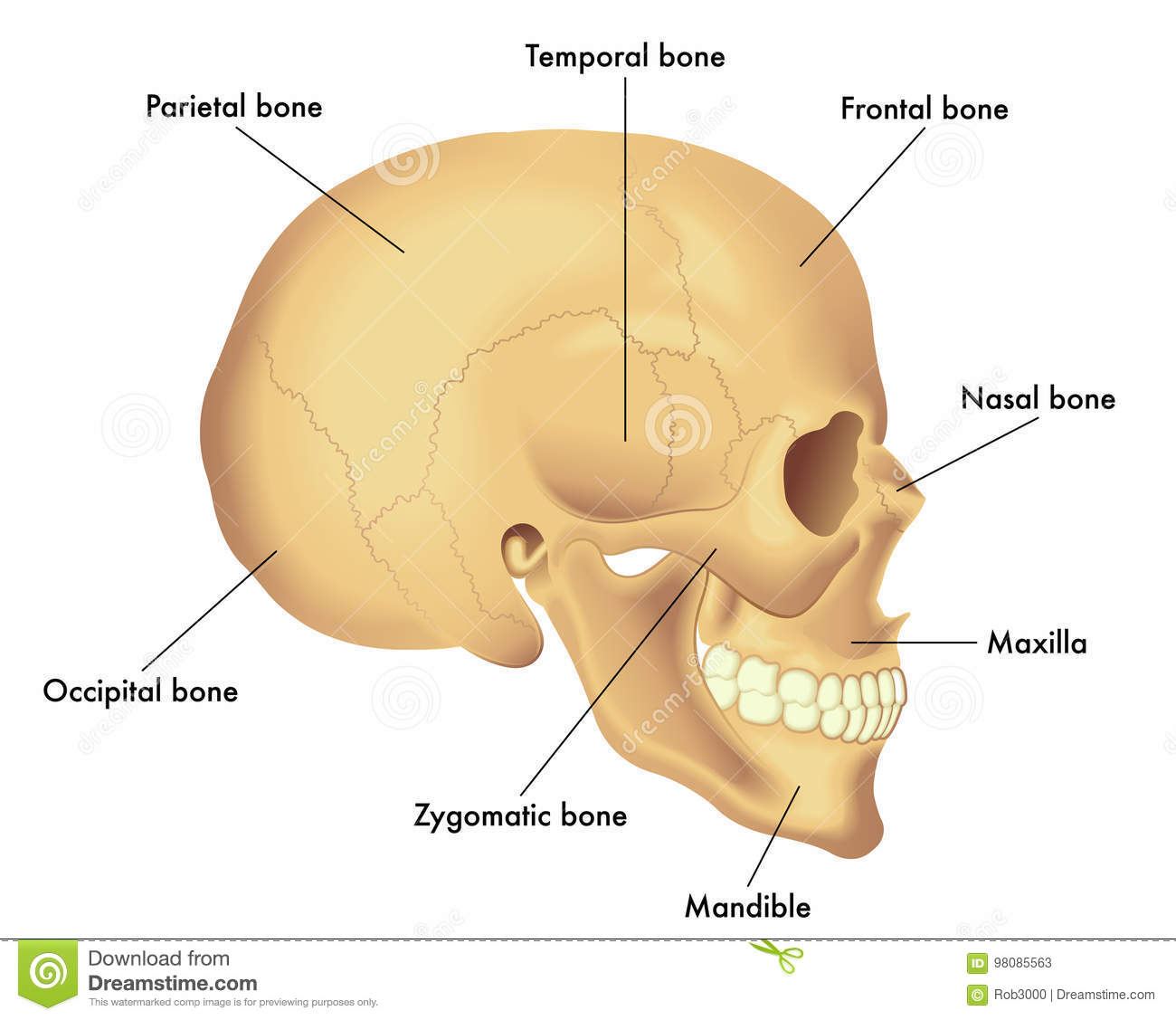 Anatomy Diagram Of A Skull Stock Vector Illustration Of