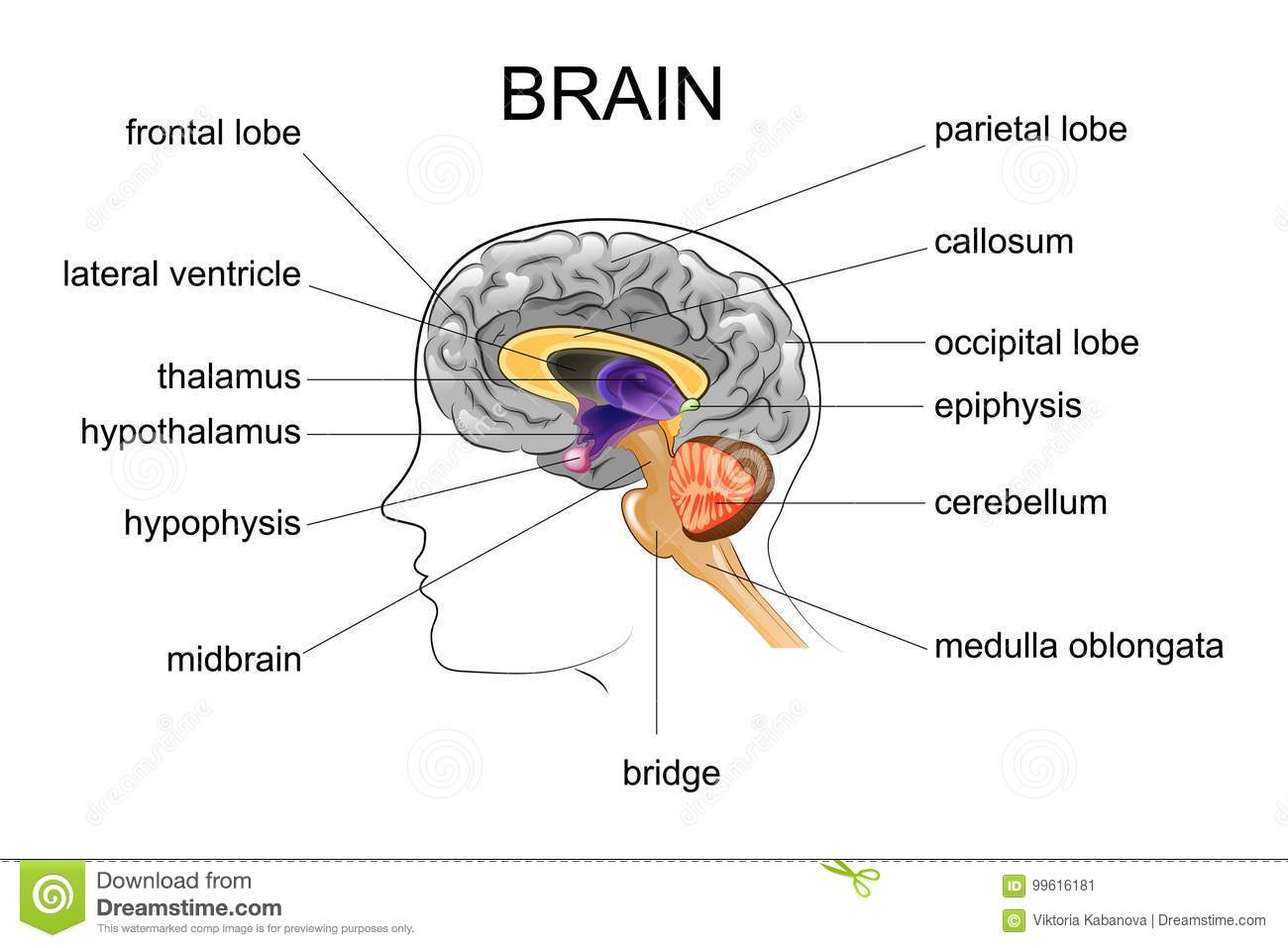 Pineal Gland Anatomical Cross Section Vector Illustration