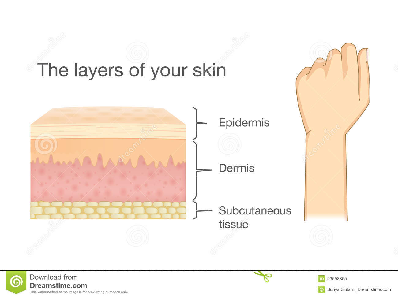 Anatomy Of Human Skin Layer And Arm Stock Vector