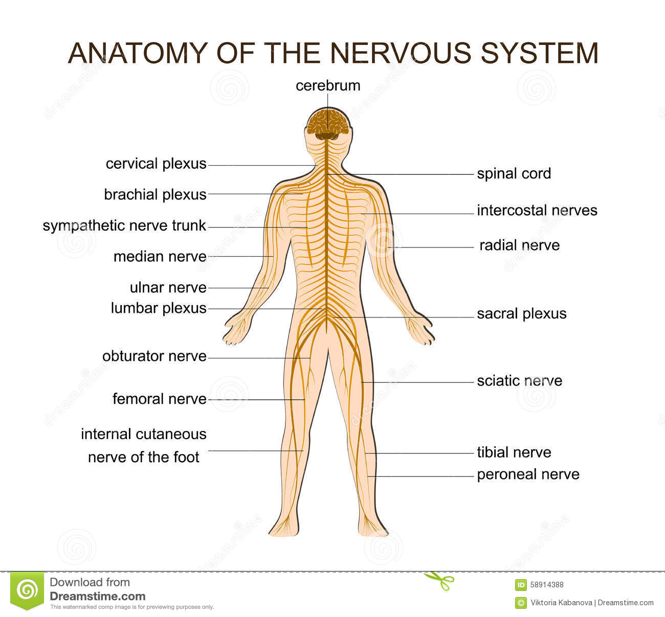 Anatomy Of The Nervous System Stock Vector
