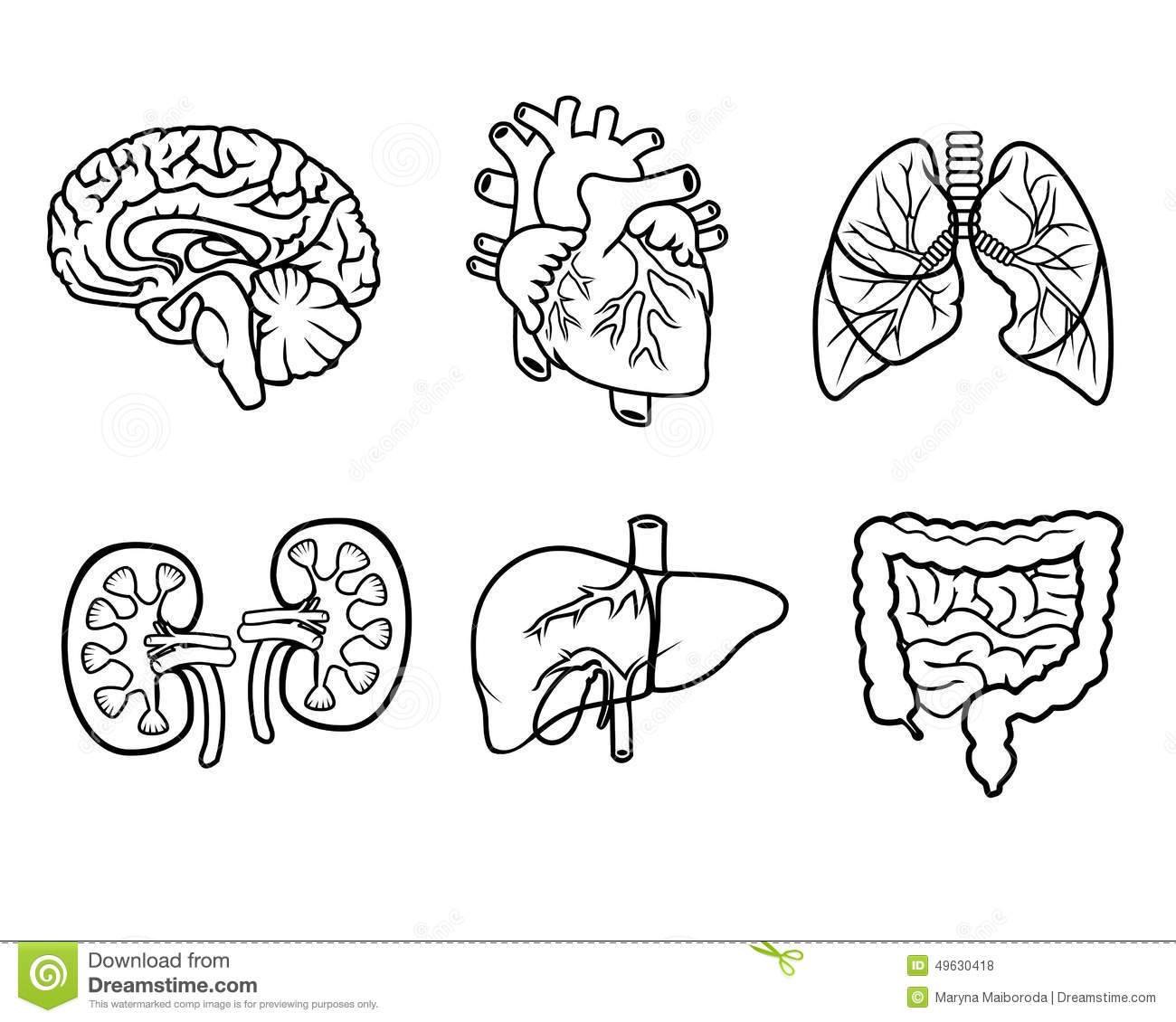 Anatomy Organs Stock Illustration