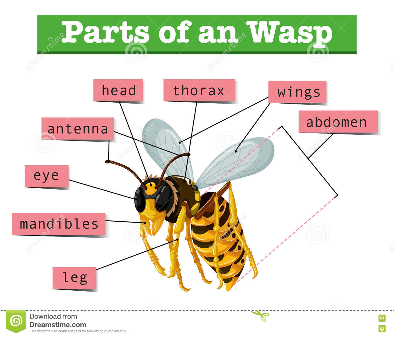 Anatomy Of Wasp With Words Stock Vector Illustration Of