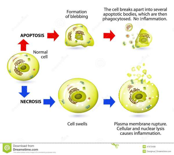Apoptosis And Necrosis. Difference. Stock Vector ...