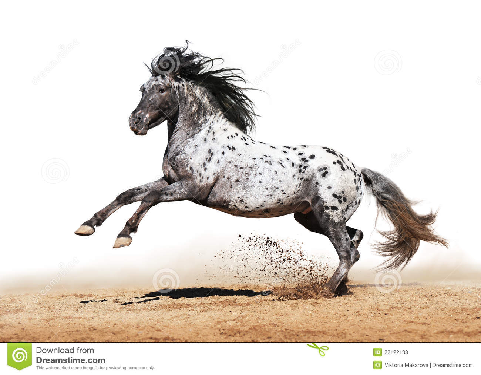 Appaloosa Horse Play In Summer Stock Photo Image 22122138