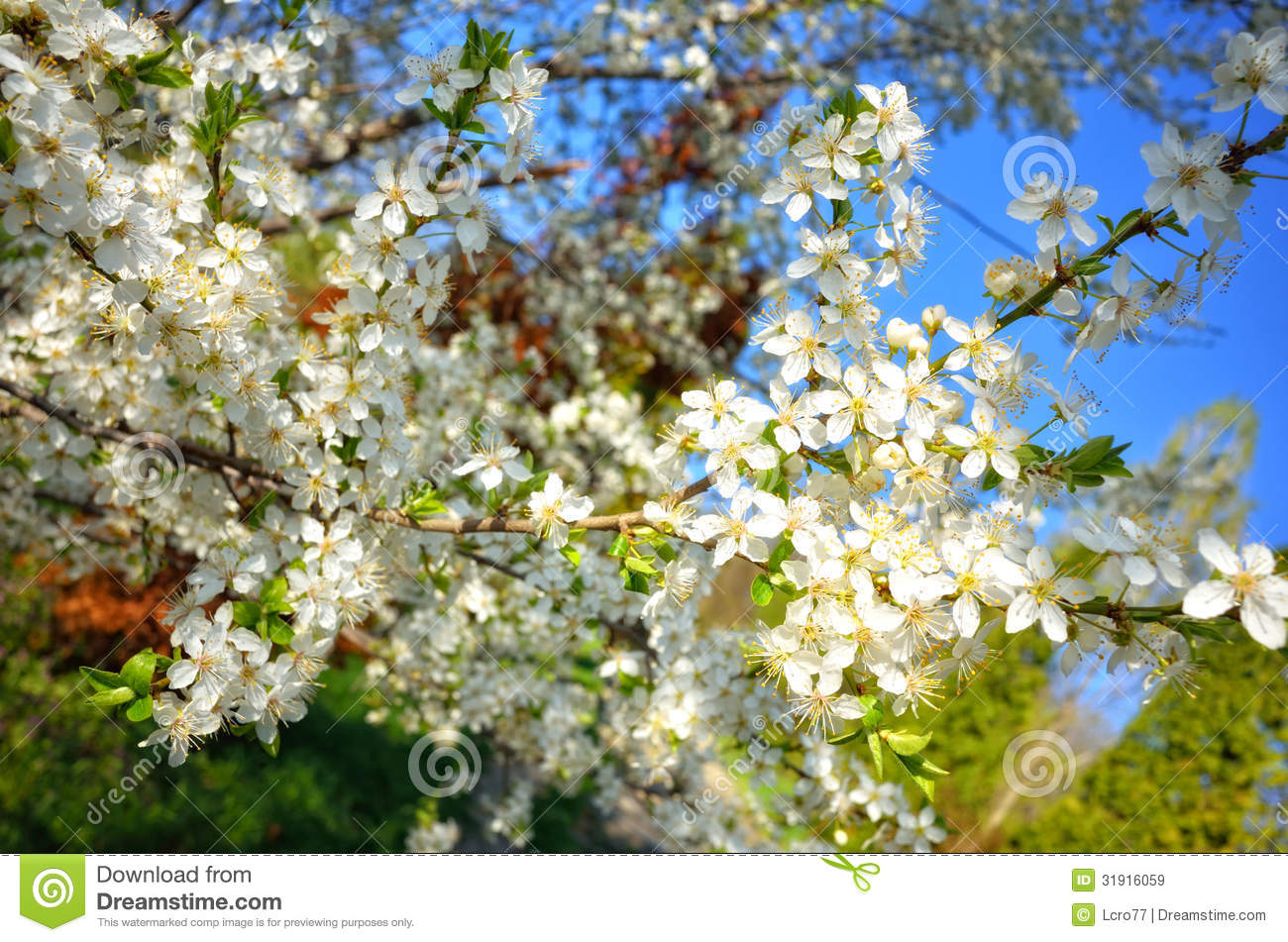Apple Tree In Spring Season Royalty Free Stock Images