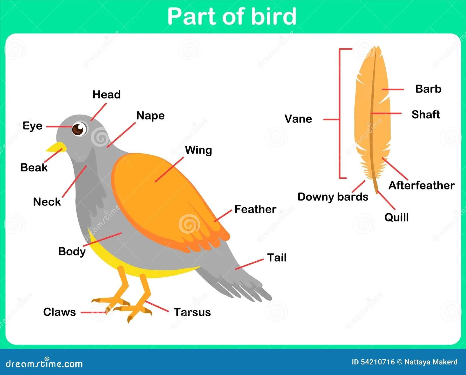 Apprenant Des Parties D Oiseau Pour Des Enfants