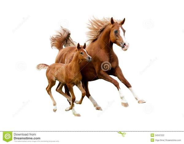 Arab Mare With Foal Running Isolated On White Background