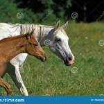2 762 Arabian Horse Foal Photos Free Royalty Free Stock Photos From Dreamstime