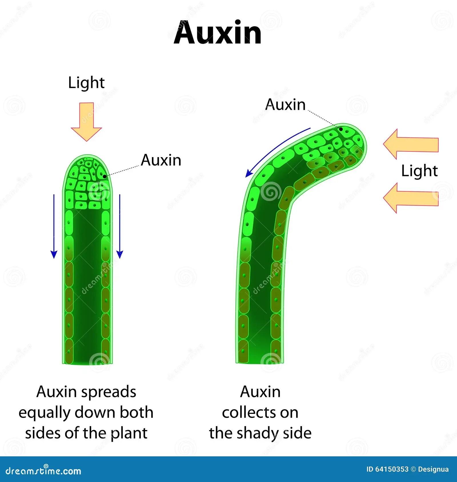 Auxins Stock Illustration