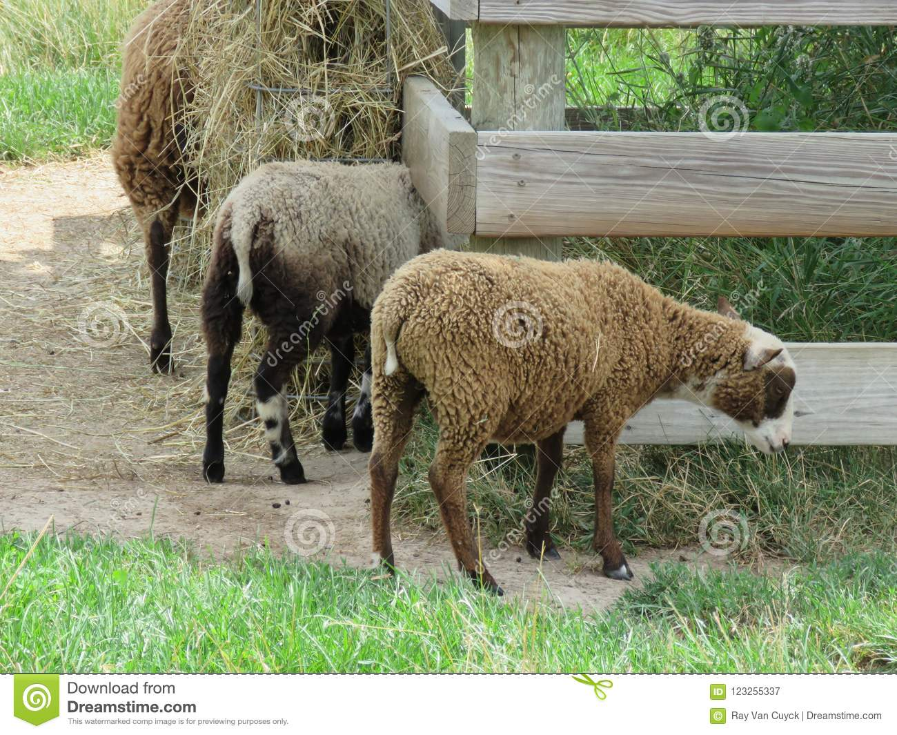 Baa Baa Black Sheep And White And Multicolored Too Stock
