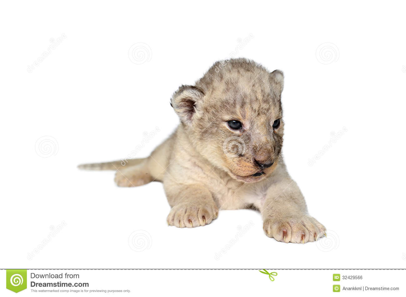 Baby Lion Isolated Stock Photo Image Of Fauna Background
