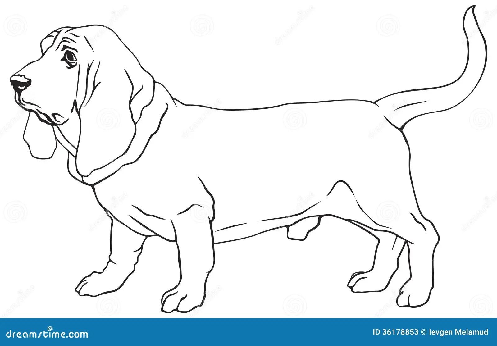 Basset Hound Dog Breed Stock Photos
