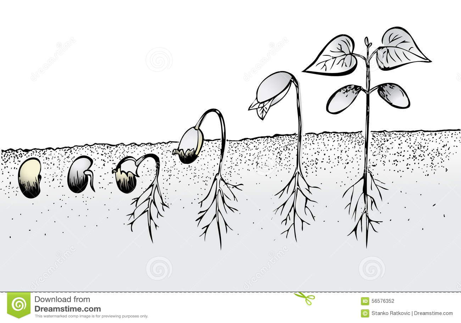 Bean Seed Germination Stock Illustration Illustration Of