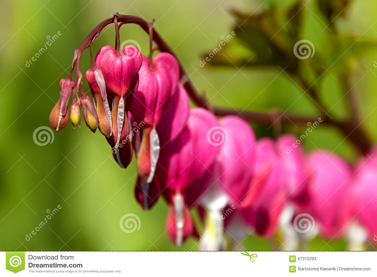 Bleeding Heart Flowers With Dew Drops Stock Image
