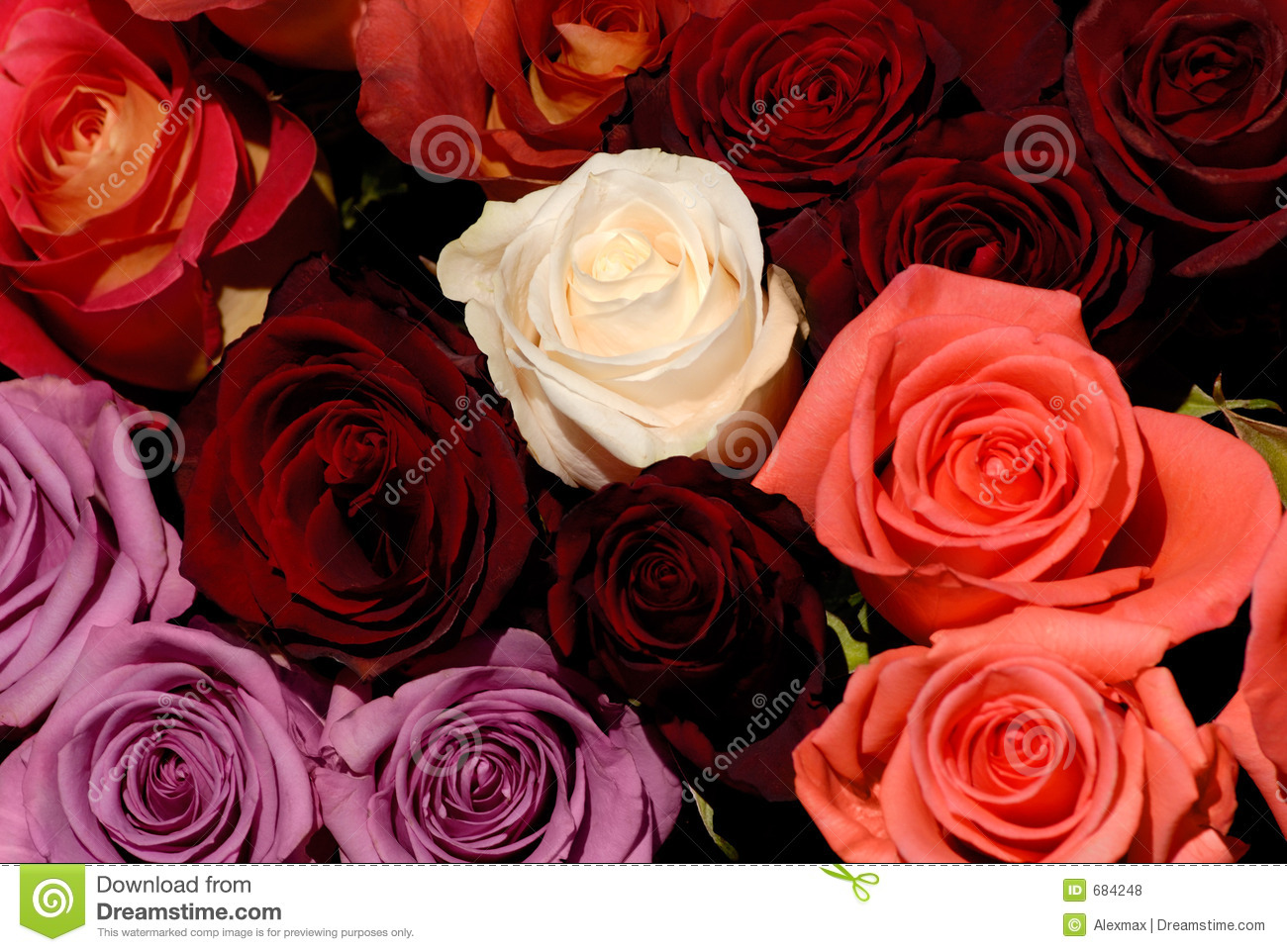 Beautiful Red And White Roses Flowers Love Background Stock Photo     Beautiful red and white roses flowers love background