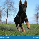 Running German Shepherd Puppy Stock Photo Image Of Funny Mammal 138139688