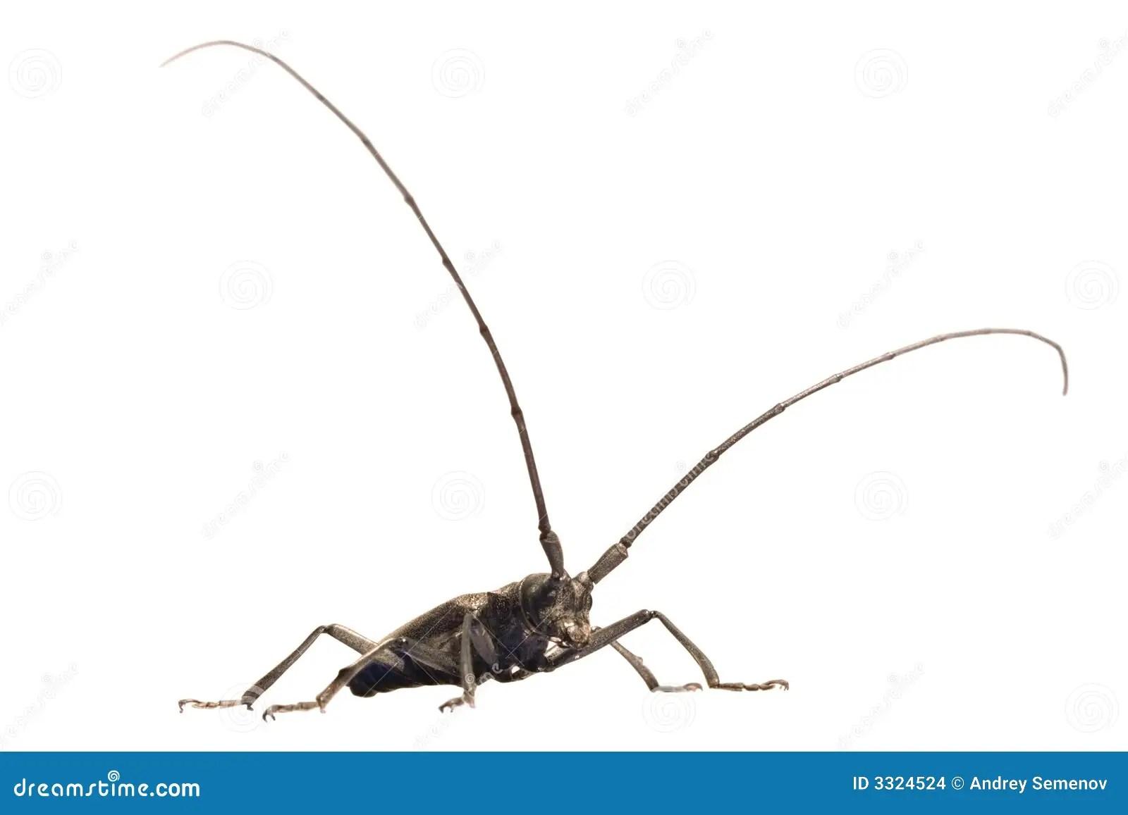 Beetle With Lengthy Feelers Stock Photo