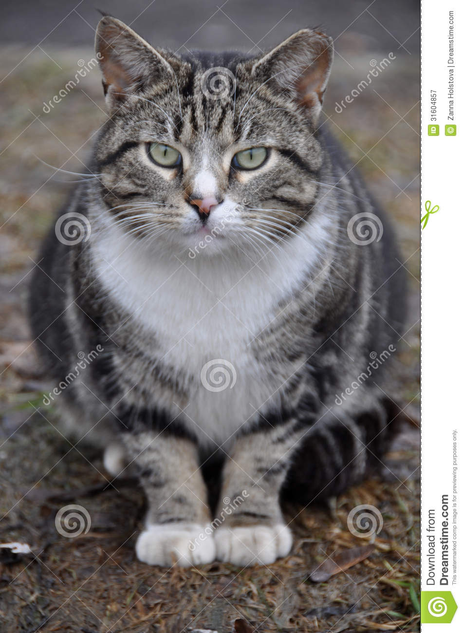 Big Fat Cat Royalty Free Stock Photography Image 31604857