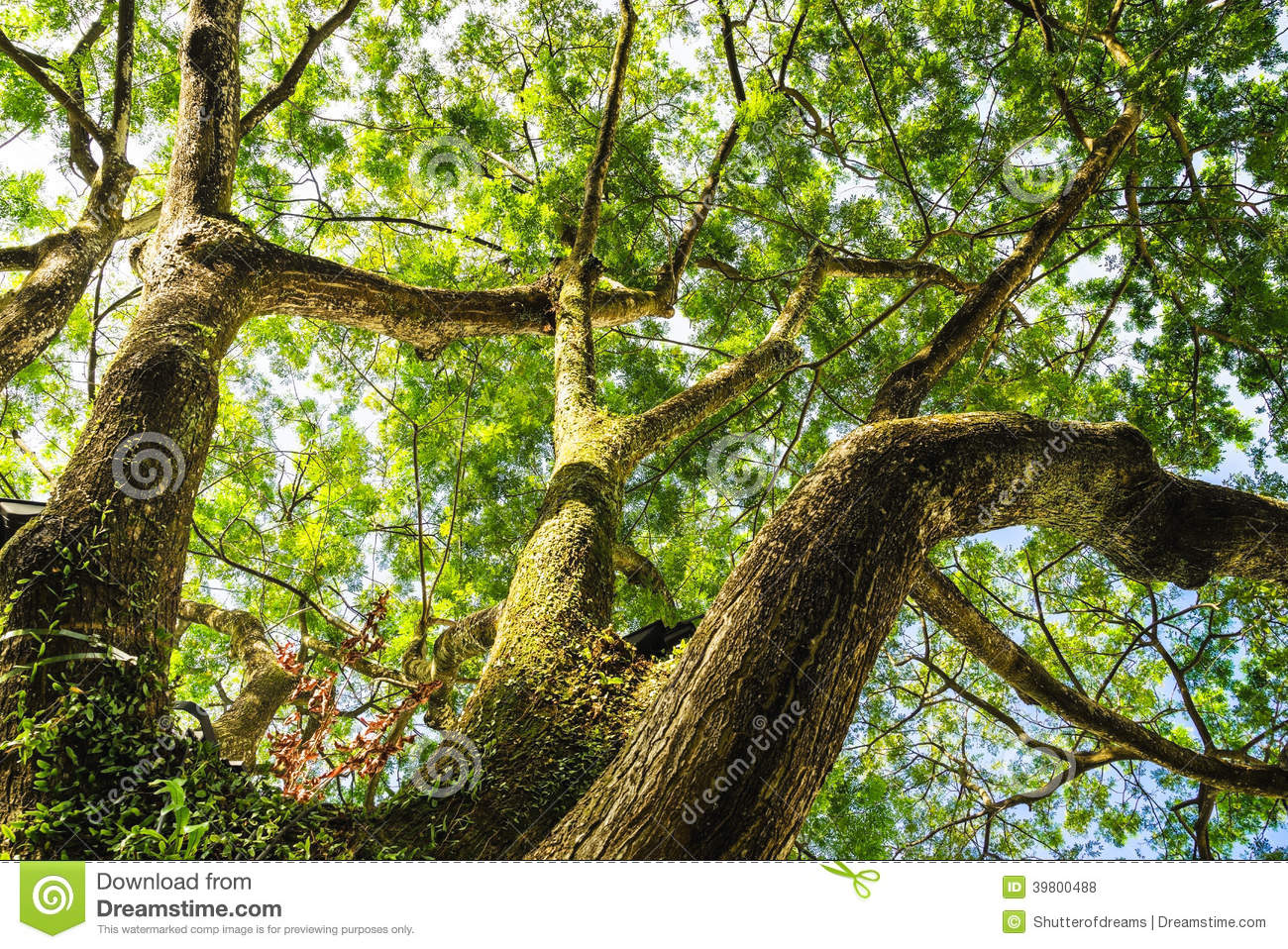 Big Tree Look Up Stock Photo Image Of Colorful Color