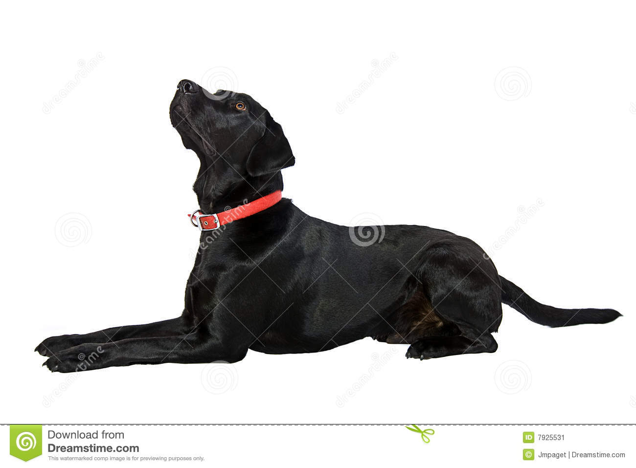 Black Labrador Lying Down Stock Image Image Of Adorable